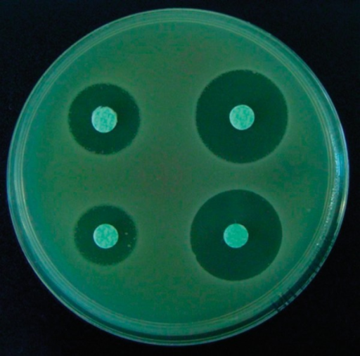 Positive results of the modified AmpC test in an AmpC-positive strain of Klebsiella pneumoniae.