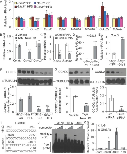 Glis3 is required for beta cell proliferation and directly regulates Ccnd2 transcriptionA. The mRNA expression of Ccnd1, Ccnd2, Ccnd3, Cdk4, Cdkn1a, Cdkn1b, Cdkn2a and Cdkn2c in the islets of Glis3+/+ and Glis3+/− mice fed with a CD (n = 5) or HFD (n = 6) for 20 weeks. *p < 0.05, versus Glis3+/+ CD. #p < 0.05, ###p < 0.001, versus Glis3+/+ HFD.B. The mRNA expression of Ccnd1, Ccnd2 and Ccnd3 in the islets of Glis3fl/fl/Pdx1CreERT+ mice treated with TAM (newly diabetic, plasma glucose just reaching 250 mg/dl) or vehicle. **p = 0.004 versus vehicle-treated mice. N = 6 for each group.C. The mRNA expression of Glis3 and Ccnd2 in INS-1 derived 832/13 cells transfected with control siRNA or Glis3 siRNA for 48 h. **p = 0.003, ***p = 0.000007, versus control siRNA group. r: rat.D,E. The mRNA expression of Glis3(D) and Ccnd2(E) in INS-1 derived 832/13 cells stably overexpressing c-Myc-YFP or c-Myc-Glis3. ***p = 0.00002 and 0.0007 versus c-Myc-YFP group, respectively. m: mouse, r: rat.F–H. Representative Western blots of CCND2 and densitometri ratios of CCND2/alpha tubulin in the islets of Glis3+/+ and Glis3+/− mice fed with a CD or HFD for 20 weeks (F) (***p = 0.00002 versus Glis3+/+ CD; ###p = 0.00008 versus Glis3+/+ HFD), and in the islets of Glis3fl/fl/Pdx1CreERT+ mice treated with TAM (newly diabetic) or vehicle (G) (***p < 0.0001 versus vehicle-treated group), as well as in INS-1 derived 832/13 cells transfected with control siRNA or Glis3 siRNA for 48 h (H) (n = 4, ***p = 0.0004 versus control siRNA group). Alpha tubulin was used as an internal control.I. Alignment of the 15-bp sequences (Glis3RE) located at −3670, −1095, and −160 in the 10-Kb mouse Ccnd2 gene promoter. The Glis3RE in the mouse Ins2 promoter was used as a comparison.J. EMSA using an in vitro translated GLIS3-ZFD peptide was performed with biotin-labeled probes containing putative Glis3REs sequences at −3670, −1095, and −160 in mouse Ccnd2 gene promoter. Five- or fifty fold corresponding non-biotinylated Glis3REs were added as competitors. The specific band was indicated by an arrow.K. ChIP assays with anti-GLIS3 or IgG control were performed in the islets of wild type C57BL/6 mice. Immunoprecipitated DNA was purified and analyzed by qPCR using primers specifically spanning the putative Glis3RE region at −3690, −1095 and −160 sites and a control fragment located at −9926 of mouse Ccnd2 promoter. Results were analyzed by student's t-test and presented as the mean ± S.E. from three independent experiments. *p = 0.048, **p = 0.007, versus IgG control.
