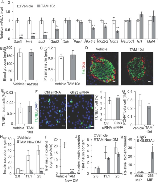 Glis3 inactivation in adult beta cell reduces insulin expression independent of glucotoxicityA. The mRNA expression of Glis3, Ins1, Ins2, Glut2 and Gck and islet enriched transcription factors (Pdx1, Nkx6-1, Nkx2-2, Ngn3, Neurod1, Isl1 and MafA) in handpicked islets of Glis3fl/fl/Pdx1CreERT+ mice 10 days after TAM or vehicle administration (n = 6). Results were analyzed by student's t-test and presented as the mean ± S.E. **p < 0.01, ***p < 0.001, versus vehicle-treated mice.B,C. Blood glucose (B) and plasma insulin (C) in Glis3fl/fl/Pdx1CreERT+ mice 10 days after TAM or vehicle administration.D. Immunoreactive Ins and Gcg in Glis3fl/fl/Pdx1CreERT+ mice 10 days after TAM or vehicle administration. Scale bar, 20 µm.E. TUNEL+ beta cells, normalized to total islet cells in Glis3fl/fl/Pdx1CreERT+ mice 10 days after TAM or vehicle administration.F. Representative images and percentage of TUNEL+ cells in INS-1 derived 832/13 cells transfected with control siRNA or Glis3 siRNA for 48 h. Scale bar, 20 µm.G. PCNA+ beta cells, normalized to total islet cells, in the pancreas of 10 days TAM or vehicle-treated Glis3fl/fl/Pdx1CreERT+ mice.H–J. Glucose-induced insulin secretion (GSIS) (H), islet insulin content (I) and the relative GSIS/islet insulin content (J) in Glis3fl/fl/Pdx1CreERT+ mice treated with TAM (newly diabetic) or vehicle (n = 6). **p < 0.01, ***p < 0.001 versus vehicle-treated mice.K. ChIP assays with anti-GLIS3 or IgG control were performed in the islets of wild type C57BL/6 mice. Immunoprecipitated DNA was purified and analyzed by qPCR using primers specifically spanning the Glis3RE region (−266 MIP) of mouse insulin 2 promoter, the distal region (−6000 MIP) was used as a negative control. Results were analyzed by student's t-test and presented as the mean ± S.E. from three independent experiments. *p = 0.03 versus IgG control.