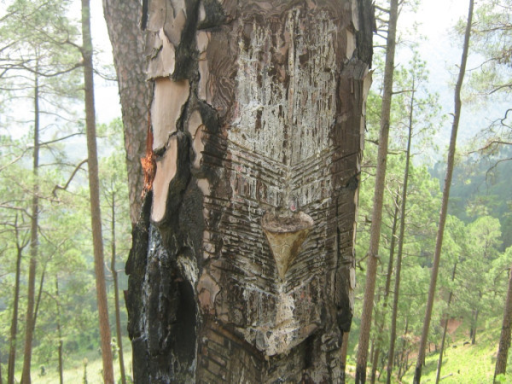 Collecting pine resin: useful in boils.