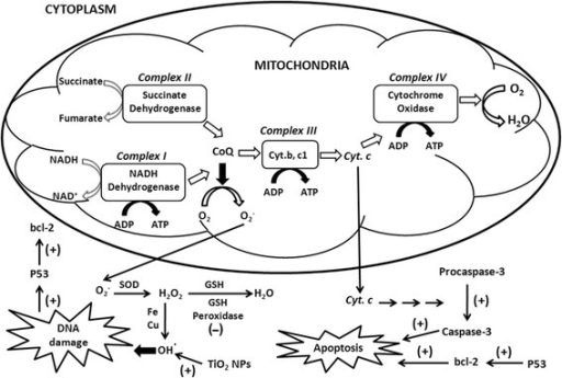 to determine succinate dehydrogenase activity of mitochondria