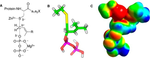 Key features of catalysis by protein farnesyltransferase.(A) Schematic representation of transition state showing thiol activationby Zn2+, diphosphate stabilization by Mg2+,and partial bonding to leaving group and incoming nucleophile (adaptedfrom ref (23)). (B)Structural model for transition state based on kinetic isotope effectmeasurements and DFT calculations. The model reaction used for computation(shown in these images) employed ethanethiol and dimethylallyl diphosphate.(C) Electrostatic potential map of transition state based on the samemodel shown in panel B (images B and C images adapted from ref (24)). Color scheme for B:carbon (green), hydrogen (white), oxygen (red), phosphorus (magenta),and sulfur (yellow). Color scheme for C: red represents more negativepotential, blue represents less negative potential, and green is intermediate.