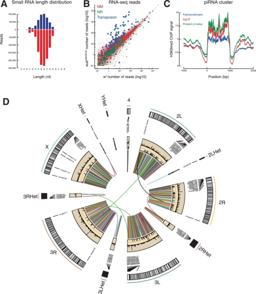 Gallery of piPipes Figures (A) Barplot representing length distribution of Drosophila w1 ovary small RNAs assigned to sense (blue) and antisense (red) strands of transposons. (B) Scatterplot comparing w1 to aubHN2/QC42 Drosophila ovary RNA-seq reads assigned to mRNA (NM; red), non-coding RNA (NR; green) and transposons (blue). (C) Metagene plot of H3K9me3 ChIP-seq of piRNA clusters from flies in which piwi mRNA was depleted by double-stranded RNA-triggered RNA driven by a triple Gal4 driver (SRX215630). (D) Circos plot representing the locations of, from the periphery to the center, cytological position, piRNA clusters, SV discovered by TEMP (tiles), retroSeq (tiles) and VariationHunter (links) using genomic sequencing of 2–4-day-old ovaries