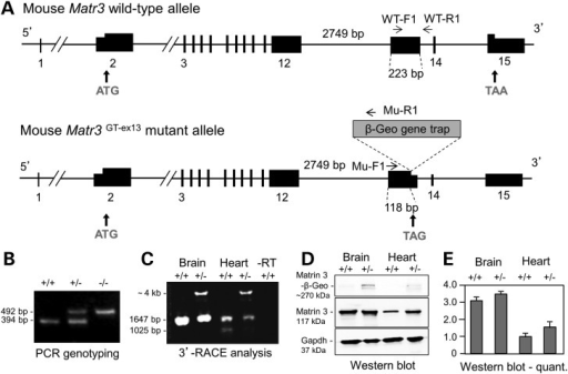 Analysis of the Matr3Gt-ex13 gene trap allele. (A) Structure of mouse Matr3 wild-type and Gt-ex13 gene trap mutant alleles. Wild-type mouse Matr3 encodes an 846-amino acid protein. Intron 12 (2749 bp) and exon 13 (223 bp) are shown. Matr3Gt-ex-13 gene trap allele inserts a β-Geo gene trap vector at position 118 bp in exon 13, which will generate Matr3-β-geo fusion transcripts. PCR genotyping primers depict WT-F1 (in exon 13) and WT-R1 (in intron 13) for the wild-type allele, and Mu-F1 (in exon 13) and Mu-R1 (in gene trap vector) for the mutant allele. Primers used in 3′ RACE are summarized on Materials and Methods. (B) E3.5 PCR genotyping shows 394-bp wild-type and 492-bp mutant alleles for wild-type (+/+), heterozygous (+/−) and homozygous (−/−) embryos. (C) Matr3GT-ex13 3′ RACE analysis of mouse E14.5 brain and heart tissues detects a novel Matr3-β-Geo fusion transcript (∼4 kb) in heterozygotes. The long Matr3 3′ RACE product (1647 bp), the only form detected in brain, is reduced in heterozygous brain. Both long and short Matr3 3′ RACE products (1647 and 1025 bp) are reduced in heterozygous heart. (D) Western blot analysis of Matrin 3 protein isolated from wild-type and heterozygous mouse E15.5 brain and heart tissues. Gapdh was used as loading control. (E) Quantification of Matrin 3 protein expression in D. Bars are fold ± SEM expression level from mean of three independent experiments, corrected for loading, and normalized to a value of 1.0 for wild-type heart. The small increase in expression in Matr3Gt-ex13/+ heart is not statistically significant.