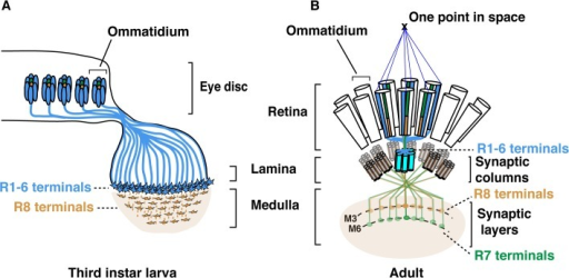 Schematic representation of the Drosophila visual system.(A) Schematic representation of Drosophila axonal photoreceptor projections in the third instar larva optic lobe. The outer R1-R6 (indicated in light blue) from each ommatidium in the eye disc project their axons into the lamina part of the brain. At this early developmental stage, the inner photoreceptor R8s (yellow) project through the lamina and establish a regular retinotopic array of terminals in the medulla. (B) Schematic representation of the adult Drosophila visual system. R-cell axons are organized into synaptic-columns and layers. Six different photoreceptors (indicated in light blue) from six neighbouring ommatidia share the same optical axis and pool their axons in the same synaptic-column in the lamina [2]. R8 (orange) and R7 (green) photoreceptor axons pass through the lamina and terminate in distinct synaptic-layers M3 (R8) and M6 (R7).