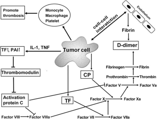 Mechanisms for cancer-induced hypercoagulation and consequential D-dimer formation. Cancer cells promote a hypercoagulable status and activate the hemostatic system. The cancer cells induce the hypercoagulable status by cell-to-cell interaction with endothelial cells, direct release of TF and CP, production of cytokines such as IL-1and TNF, and activation of monocyte, macrophage, and platelet. CP = cancer procoagulants, IL-1 = interleukin-1, PAI = plasminogen activator inhibitor, TF = tissue factor, TNF = tumor necrosis factor.