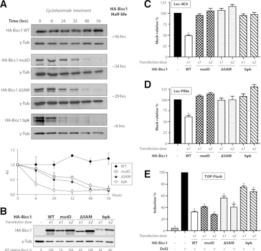 SAM polymerization is required for Bicc1 accumulation and silencing activity. (A) Time course analysis of HA-Bicc1 WT and mutants expressed in HEK293T cells after CHX treatment. HA-Bicc1 protein levels were compared with γ-tubulin levels by Western blotting at 0, 8, 24, 32, 48, and 56 h. The relative level of each protein is presented in the graph at the bottom, and the estimated half-life is given on the right. AU, arbitrary units. (B) Level of the HA-Bicc1 WT and mutants upon transfection with a single dose (×1) or a double dose (×2) of DNA encoding HA-Bicc1. A double dose of transfected DNA encoding HA-Bicc1 mutD, the ΔSAM mutant, or the bpk mutant is required to obtain a protein level comparable to that of the HA-Bicc1 WT. The relative percentage of WT Bicc1 is indicated for each condition. γ-Tubulin was used for normalization. (C and D) Silencing of AC6 and PKIα 3′ UTR luciferase reporters by WT or polymerization mutant Bicc1 in HEK293T cells. β-Galactosidase was used as a control for normalization. Error bars show SEMs. *, P < 0.005. (E) Induction of the TOPflash reporter of Wnt signaling by Dishevelled 2 (Dvl2) in transfected HEK293T cells is inhibited by both WT and polymerization mutant Bicc1. β-Galactosidase was cotransfected for signal normalization. Error bars show SEMs. *, P < 0.005.