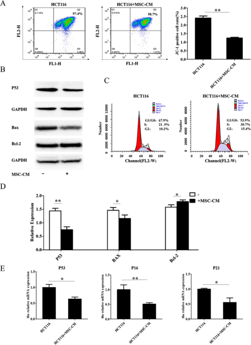 Conditioned media from MSCs regulates the cell cycle and inhibits apoptosis in CRC cell lines.HCT116 and LOVO cells were cultured in MSC-CM or control media for 24 h. (A) Flow cytometric analysis of JC-1 expression. (B) Western blot analysis of P53, Bax and Bcl-2 expression. (C) Flow cytometric analysis of cell cycle distribution in HCT116 cells. (D) Quantification of P53, Bax and Bcl-2 expression from Western blots. (E) Q-PCR analysis of P53, P21 and P16 mRNA expression. *P < 0.05 and **P < 0.01 vs. control group (n > 3).