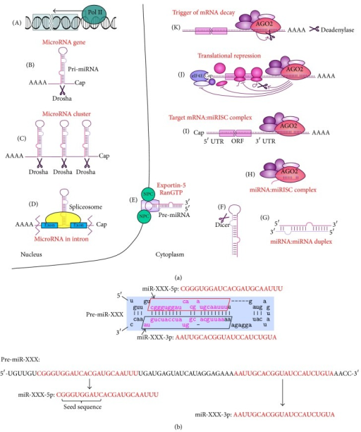 Biogenesis and mechanism of action of miRNAs. (a) miRNAs are transcribed mainly by polymerase II (A) from a gene encoding a single miRNA (B), or from a polycistronic gene (C), or from a gene in an intronic region (D). Resulting pri-miRNAs are processed by type III RNase Drosha. The newly formed stem-loop structure, pre-miRNA, is recognized by the XPO5, RanGTP complex, and is transported to the cytoplasm by exportin-5 (E). Dicer cleaves the loop (F), leaving a double-stranded fragment, the miRNA-3p:miRNA-5p duplex (G). The duplex is then unwound and loaded into the miRISC complex (H) where it recognizes and anneals to the UTR of mRNA target (I). The messenger RNA:miRISC complex mediates translational repression (J) or mRNA decay (K). (b) Processing of a pre-miRNA gives rise to two mature miRNAs named miR-XXX-3p and miR-XXX-5p where miR-XXX-3p miRNA originates from 3′-end and miR-XXX-5p miRNA originates from 5′-end of the pre-miRNA.