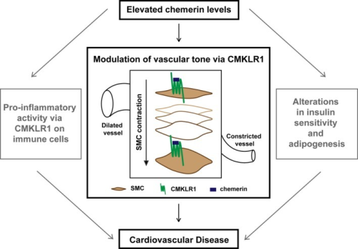 Chemerin is a multifaceted protein that is emerging as a potential contributor to cardiovascular disease. This study identifies a novel role of chemerin in modulation of vascular tone in humans. CMKLR1 indicates chemokine‐like receptor 1; SMC, smooth muscle cells.