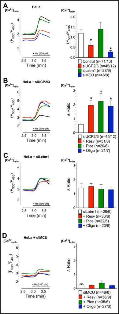 Representative curves (left panels) reflect mtCa2+ ratio signals upon 100 µM histamine (His) addition in Ca2+-free solution of HeLa cells with transient knockdown of UCP2/3 (A), Letm1 (B) or MCU (C) after treatment with 100 µM resveratrol (red curves), 100 µM piceatannol (green curves) or 10 µM oligomycin A (blue curves) as well as under control conditions with corresponding knockdown (black curves) or without knockdown (dotted lines). Bars (right panels) represent an average of maximal ∆ ratio signals of IP3 agonist stimulated response of cells without knockdown (dotted columns; n=71/13), under corresponding control conditions (white columns; siUCP2/3: n=47/12, siMCU: n =46/8, siLetm1: n=28/9) or after treatment with resveratrol (red columns; siUCP2/3: n=31/8, siMCU: n=38/9, siLetm1: n=30/8), piceatannol (green columns; siUCP2/3: n=20/6, siMCU: n=35/6, siLetm1: n=22/6) or oligomycin A (blue columns; siUCP2/3: n=21/7, siMCU: n=27/6, siLetm1: n=23/6).