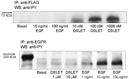 Western blots showing the effect of DSLET or EGF on tyrosine phosphorylation of the δ-OR or the EGFR. HEK-δ-OR cells were serum-starved overnight prior to exposure to EGF (0.1 – 100 ng/ml for 5 minutes) or DSLET (10 nM-10 μM for 5 minutes). After agonist exposure, cell lysates were prepared and the δ-OR or the EGFR was immunoprecipitated as described in the methods section using the appropriate antibodies. Tyrosine phosphorylation of these receptors was determined by SDS PAGE, followed by immunoblotting of proteins onto nitrocellulose. Immunopositive bands correspond to the tyrosine-phosphorylated forms of the δ-OR (upper panel) or the EGFR (lower panel). The immunoblots are representative of an experiment that was repeated three times.