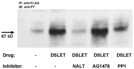 Western blot characterizing the effect of naltrindole, PP1, or AG1478 on tyrosine phosphorylation of the δ-OR by DSLET (1 μM for 5 minutes). HEK-δ-OR cells were serum-starved overnight prior to exposure to DSLET. In some instances, cells were exposed to PP1 (10 μM) or AG1478 (10 μM) for 60 minutes prior to DSLET. After agonist exposure, cell lysates were prepared and the δ-OR was immunoprecipitated as described in the methods section using the anti-FLAG antibody. Tyrosine phosphorylation of the δ-OR was determined by SDS PAGE, followed by immunoblotting of proteins onto nitrocellulose. Immunopositive bands correspond to the tyrosine-phosphorylated forms of the δ-OR. The immunoblot is representative of an experiment that was repeated three times.