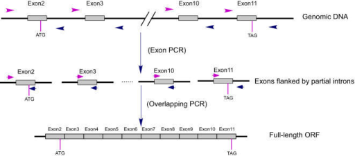 Schematic diagram of pcr mediated genomic dna splicing open i schematic diagram of pcr mediated genomic dna splicing gds strategydividual exons are ccuart Gallery