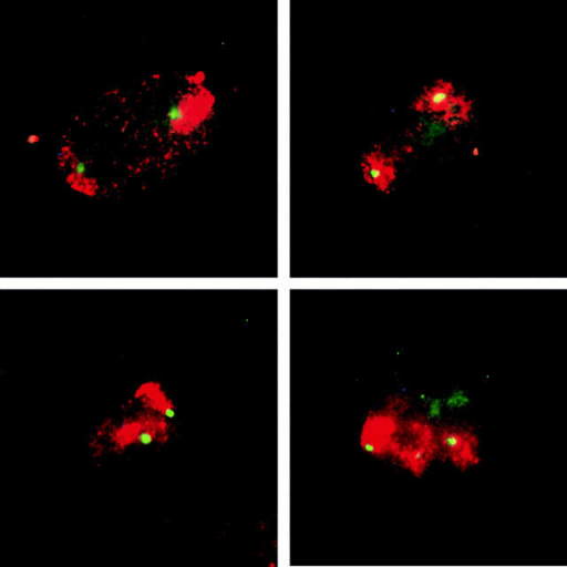 PcG bodies preferentially associate to chromosome 1 territories in 2C4 cells. Digitally merged images of numerous interphase 2C4 cells localizing the chromosome 1 in situ–hybridized  probe by immunofluorescence showing the entire chromosome 1  territories (red) and immunofluorescent localization of PcG bodies using the anti-RING1 antibody (green) are shown. The green  channel–labeled PcG bodies can always be seen associated with  the red channel–labeled chromosome 1 territories in nuclei of  2C4 cells (yellow).
