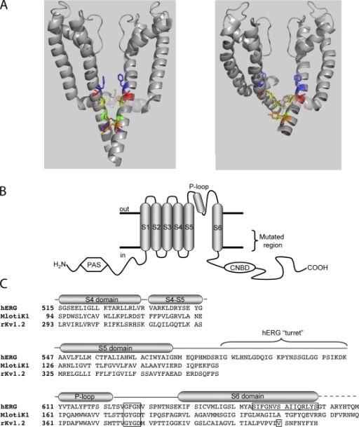 Topology and alignment of hERG and related channels. (A) Energy-minimized models of hERG in membrane cross section in the closed (left) and open (right) states based on crystal structures of MlotiK1 and rKv1.2 (see text). The S4-S5 linker in shadow and S5 and S6 in gray ribbons from two of the four subunits are shown. S6 residues highlighted are, top-to-bottom: F656 (blue), V659 (red), S660 (yellow; aligns with V478 in Shaker), Q664 (green), Y667 (orange), and S668 (purple). (B) Schematic of one hERG subunit. α-helical transmembrane domains S1 through S6 along with the pore helix are represented as cylinders. S6 domains from each of the four subunits form the ion conduction pathway. The region of mutagenic scan of S6 is bracketed. CNBD, cyclic nucleotide binding domain; PAS, per-arnt-sim domain. (C) Alignment of hERG, MlotiK1, and KcsA used in homology modeling. Selectivity filter and region of mutagenic scan in hERG is boxed, as is rKv1.2 residue analogous to Shaker residue V478, corresponding to the region of the activation gate (Liu et al., 1997; Kitaguchi et al., 2004).