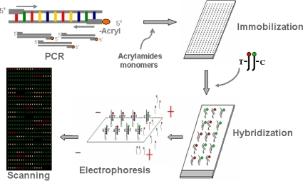 Schematic outline of gel-immobilization microarray appr | Open-i