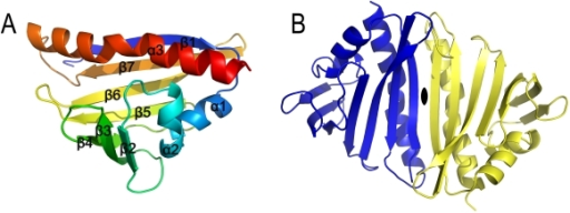 Crystal structure of SMU.440.(A) Overall structure of SMU.440 in cartoon representation. (B) SMU.440 homodimer has a twofold symmetry, the axis of which is indicated in black opal shape.