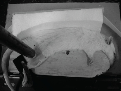 Photograph of pressure loading. The anesthetized rats were fixed in a lateral position on a wooden fixation plate. As a cushion, a piece of absorbent cotton was placed between the femoral region and the fixation plate, and a stainless steel cylinder weighing 1.02–1.03 kg and measuring 19 mm and 50 cm in diameter and length, respectively, with a silicon stopper measuring 10 mm in diameter, was placed on the skin of the right greater trochanter (1.30 to 1.31 kg/cm2).