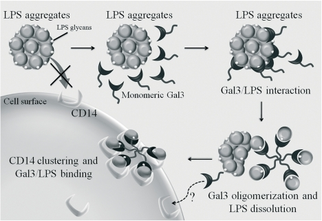 Schematic view of putative mechanisms responsible for galectin-3 enhancement of LPS-induced neutrophil activation.Monomeric Galectin-3 interacts with LPS glycans from LPS aggregates via its C-terminal domain. LPS/Gal 3 interactions induce Gal 3 oligomerization, which promotes the dissolution of LPS aggregates, stabilizes LPS monomers and enhances the LPS interaction with surface receptors, leading to increased neutrophil activation. CD14 only is shown as the initial LPS ligand on neutrophils, because it is highly glycosylated and could, potentially, interact directly with Gal 3. Moreover, being GPI-anchored, CD14 would be most easily clustered on the cell surface. However, this implies a secondary clustering of TLR/MD2, which would transmit or modulate signals into the cell.