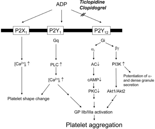 ADP receptors in the platelet. ADP binding to P2X1 receptor results in rapid extracellular calcium influx, leading to alteration of platelets shape. ADP-stimulation of Gq-coupled P2Y1 receptor activates phospholipase C resulting in weak, transient platelet aggregation. Activation of Gi-coupled P2Y12 receptor inhibits protein kinase C, and activates phosphatidylinositol 3-kinase, resulting in the activation of GP IIb/IIIa receptors and firm platelet aggregation. P2Y12 receptors are inhibited by ticlopidine or clopidogrel. AC: adenylyl cyclase, ADP: adenosine diphosphate, cAMP: cyclic adenosine monophosphate, GP: glycoprotein, PI3K: phosphatidylinositol 3-kinase, PLC: phospholipase C, PKC: protein kinase C.