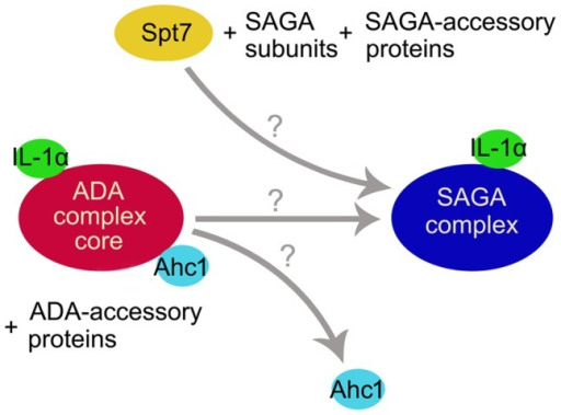 A model suggesting a mutually exclusive role for Ahc1 and Spt7 in SAGA complex assembly.Co-IP experiments showed that pre-IL-1α binds to the HAT/Core of both the ADA and SAGA complexes. In the TAP/Spt7,ahc1Δ strain, only rarely weak co-precipitation of Spt7-TAP and pre-IL-1α was observed. Ahc1 thus may operate as an exchange factor that facilitates Spt7 binding to the ADA HAT, bringing various non-canonical co-activators and accessory proteins (e.g., IL-1α) and providing the resulting complex with DNA-binding abilities that give rise to a fully functional SAGA complex. Therefore, at least from the point of IL-1α function, ADA might not represent a real HAT complex but rather an intermediate protein complex that is however necessary for the assembly and proper function of the SAGA HAT complex.