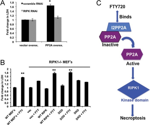 FTY720-mediated lung tumour suppression involves the kinase domain of RIPK1Roles of siRNA-mediated knockdown of RIPK1 on cell death in the absence/presence of ectopic PP2Ac-HA expression were measured by detection of LDH release compared to controls.Roles of ectopic expression of WT-, DDD-, or DKD-RIPK1 in the regulation of cell death were measured by detection of LDH release in RIPK1−/− MEFs. Error bars represent s.d. (*p < 0.05, **p < 0.01).Our novel data suggest that FTY720 directly binds and targets I2PP2A/SET oncoprotein, mimicking sphingosine/ceramide, which results in PP2A activation, subsequently leading to RIPK1-dependent necroptosis, and lung tumour suppression.