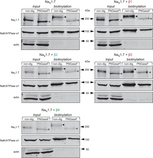 The different forms of Nav1.7 observed with β-subunits are due to differential glycosylation patterns. Western blot of a biotinylation assay followed by deglycosylation with total lysate and cell surface fractions from HEK293 cells transiently transfected with Nav1.7 alone, or co-expressed with each individual β-subunit. Samples were non-treated or treated with Peptide: N-Glycosidase F (PNGaseF) to remove glycosylated residues of the protein. The total lysate Nav1.7 band (black/white triangle) was slightly shifted to an apparent lower molecular weight (gray triangle) when treated with PNGaseF. In the biotinylation fraction, the pattern of Nav1.7 glycosylation by the β-subunits was the same as in Figure 4.(black and white triangles). When treated with PNGaseF, all the different bands shifted to the lower band of the same apparent molecular weight, irrespective of the β-subunit co-expressed.