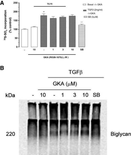 Effect of GKA on TGF-β mediated 35S-SO4 incorporation into proteoglycans by endothelial cells. Cells treated with TGF-β (2ng/ml) +/-GKA (RO28-1675) 1-10μM for 24 h and SB431542 (3μM) was used as TβR1 antagonist. Media containing secreted proteoglycans was spotted on chromatography paper and CPC precipitated to assess radiolabel incorporation into proteoglycans. Panel A shows the quantitation by the CPC precipitation method and Panel B shows the resulting SDS-PAGE analysis. Results are mean ±SEM of data normalised to control from three experiments in triplicate, ##p<0.01 versus control and **p<0.01 versus TGF-β using 1-way ANOVA.