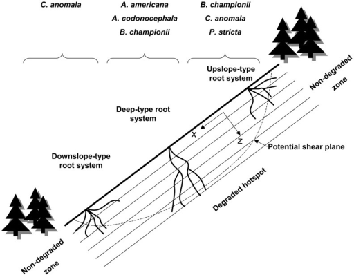 Best species depending on the location on the hotspot of instability.On degraded hotspots, the diversity of root systems will play an important role for slope stability. Roots growing upslope from the stem will have more chance to cross the potential shear plane if the plant grows at the top of the slope. Thus, root systems with desirable traits upslope of the stem will act more efficiently if they are located at the top of the slope, whereas the inverse is applicable for downslope roots. Root systems with desirable traits deeper in the soil will act more efficiently in the middle of the hotspot.
