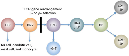 Stages in T cell development. Early T cell precursors (ETPs) differentiate from double negative (DN) to double positive (DP) to single positive (SP) stages. Arrows indicate cell differentiation. Note that ETP and DN2 thymocytes contain non-T-cell options. β- and γδ- selection occurs during the accumulation of the DN3 T cells.