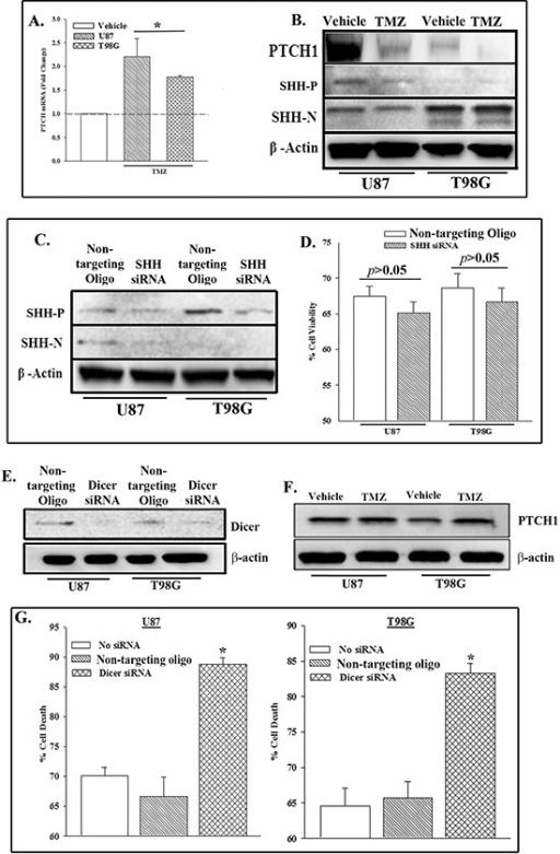 PTCH1 repression in TMZ-treated GBM cells involved miRNAU87 and T98G cells were treated with 200 μM TMZ. At 72 h, real time PCR was performed for PTCH1 mRNA (A) and western blot for PTCH1 and SHH (precursor (P) and N-terminus (N)) and β-actin. The values for the untreated group were assigned 1 and are represented by an open bar. The changes in the treated cells were presented as fold change over the vehicle-treated cells. (B) U87 and T98G were knocked down for SHH with siRNA and then analyzed for SHH (precursor, P and mature, N) and β-actin by western blot. (C) The knocked down cells in 'C' were treated with TMZ. At 72 h, the cells were assessed for viability with Cell Titer Blue. The data are presented as the mean % viability relative to vehicle treated siRNA transfected cells ±SD, n = 4. (D) U87 and T98G were knocked down for Dicer1. Control was transfected with non-targeting oligo. Western blot was performed for Dicer. The membrane was stripped and reprobed for β-actin. (E) The cells in 'E' were treated with 200 μM TMZ. At 72 h, western blot was performed for PTCH1. The membrane was stripped and reprobed for β-actin (F) and assessed for viability. (G)   p < 0.05 vs. control and non-targeting oligo.