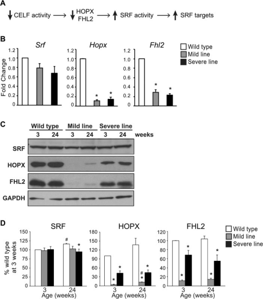 Hopx and Fhl2 remain down-regulated in MHC-CELFΔ mice at 24 weeks.(A) We previously demonstrated that Hopx and Fhl2 transcripts and proteins are down-regulated in MHC-CELFΔ mice at 3 weeks [8]. HOPX and FHL2 are known inhibitors of the cardiac transcription factor SRF, and reductions in HOPX and FHL2 are accompanied by increases in SRF target genes without a corresponding increase in SRF levels. (B) Total RNA was extracted from the hearts of 24 week-old wild type and MHC-CELFΔ mice, and mRNA levels were assayed by qRT-PCR using SYBR green-based detection. While Srf transcripts were not significantly changed, Hopx and Fhl2 remain down-regulated in the hearts of both lines of MHC-CELFΔ mice at 24 weeks. Fold changes shown represent the mean + standard error of the mean of three independent sample sets. An asterisk indicates a significant difference from wild type (P ≤ 0.05). (C) Representative western blots of wild type, MHC-CELFΔ mild and severe line females at 3 and 24 weeks of age. Equivalent loading was further confirmed by Ponceau S staining (data not shown). (D) Quantitation of western blots (n = 3) shows an increase in HOPX expression in transgenic mice from the mild line at 24 weeks compared to 3 weeks, although levels still remain reduced compared to wild type hearts at the equivalent age. There is a trend towards increased FHL2 levels in the mild line at 24 weeks as well, but it is not statistically significant compared to the mild line at 3 weeks, and remains significantly lower than wild type. HOPX and FHL2 levels do not change over time in the severe line, and remain lower than wild type. SRF levels vary only slightly, and do not differ between wild type and the mild line at 3 or 24 weeks. An asterisk indicates a significant difference from wild type mice at the same age, and a pound sign indicates a significant difference from mice of the same group at 3 weeks (P ≤ 0.05).