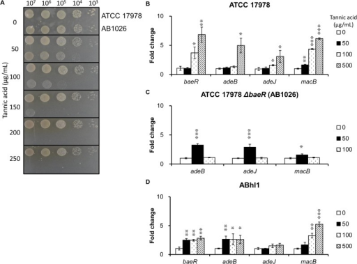 Spot assays and gene expression analyses after tannic acid exposure.(A) Spot assay. The wild-type strain exhibited better tolerance to tannic acid than the baeR mutant strain. (B) The gene expression levels of the baeR and pump genes in the wild-type strain. At 50 μg/mL tannic acid, only macB showed a statistically significant increase in the wild-type strain. Through increasing medium tannic acid up to 100 μg/mL, baeR, adeJ and macB exhibited increased gene expression. If the medium contained tannic acid 500 μg/mL, the expression of each gene investigated in the wild-type strain increased dramatically. (C) The gene expression levels of the pump genes in the baeR mutant strain. The gene expression of adeB, adeJ, and macB in the baeR mutant strain increased significantly at the tannic acid concentration 50 μg/mL. Through increasing the tannic acid concentration to 100 μg/mL, expression of each gene decreased to levels without tannic acid exposure. (D) The gene expression levels of the baeR and pump genes in the clinical strain ABhl1. The gene expression of baeR, adeB, and macB demonstrated a statistically significant increase upon being exposed to 100 and 500 μg/mL tannic acid. The results are shown as the means ± SD from three independent experiments. *, P < 0.05 and, **, P < 0.01 and ***, P < 0.001.