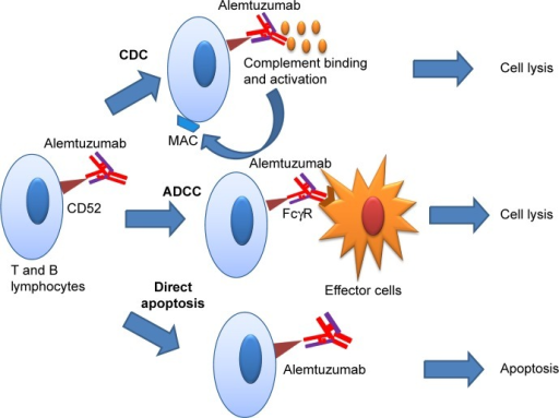 Alemtuzumab-mediated cytolysis and apoptosis of T- and B-lymphocytes.Abbreviations: ADCC, antibody-dependent cell-mediated cytotoxicity; CDC, complement-dependent cytotoxicity; MAC, membrane attack complex; FcγR, Fc-gamma receptor.