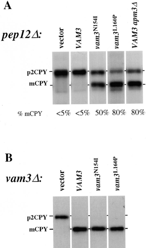 CPY sorting of  vam3 mutants in both pep12Δ  and vam3Δ mutant cells. (A)  pep12Δ (CBY31) cells and  pep12Δaps3Δ (GOY8) double-mutant cells transformed  with a single-copy plasmid  containing wild-type VAM3  (pVAM3.414), and pep12Δ  (CBY31) cells transformed  with vector (pRS414),  vam3L160P or vam3N154I mutant isolates (pVAM3L160P.  414 and pVAM3N154I.414,  respectively) were spheroplasted, and then metabolically labeled and chased for  45 min. (B) vam3Δ (TDY2)  cells were transformed with  the identical plasmids from A  and were labeled and chased  as whole cells for 30 min. CPY was immunoprecipitated and examined by autoradiography. For both A and B, mature and  Golgi-modified precursor CPY are indicated as mCPY and  p2CPY, respectively. In A, the percent of mature CPY is denoted  beneath each individual lane.