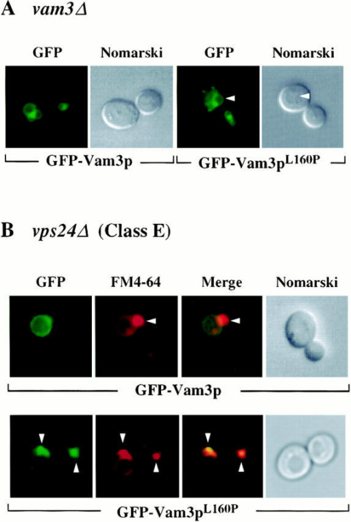Localization of Vam3 mutant proteins in vps24Δ cells.  vam3Δ (TDY2) and vps24Δ (BW102) cells were transformed  with plasmids containing both wild-type (pGFPVAM3.426) and  mutant (pGFPVAM3L160P.426) GFP-Vam3 fusion proteins.  These strains were grown in selective media to exponential  phase, harvested, and then resuspended in YNB for examination  by microscopy. vps24Δ cultures were further labeled with 16 μM  FM4-64 for a period of 1 h at 26°C in YPD. Labeled cells were  then harvested, resuspended in YPD, and then chased for 1.5 h.  After chase, cells were examined by Nomarski and fluorescence/ confocal microscopy for both GFP and FM4-64 fluorescence. Arrows in A indicate vacuoles and in B indicate class E compartments.