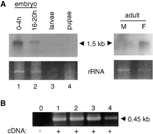debcl mRNA expression in Drosophila. A, Northern blot of poly A+-enriched RNA isolated from various developmental stages and adult flies. debcl transcript is detected as a single, ∼1.5-kb band in most samples examined. The lower panels depict portions of the ethidium bromide-stained gels corresponding to the residual ribosomal RNA bands before transfer to membrane. B, RT-PCR analysis of debcl expression. After reverse transcription of RNA from various stages of Drosophila development, PCR was carried out for 30 cycles using debcl-specific primers that generate a 450-bp product. Lanes 1–4 in B correspond to lanes 1–4 in A. Note that all samples express debcl transcript.