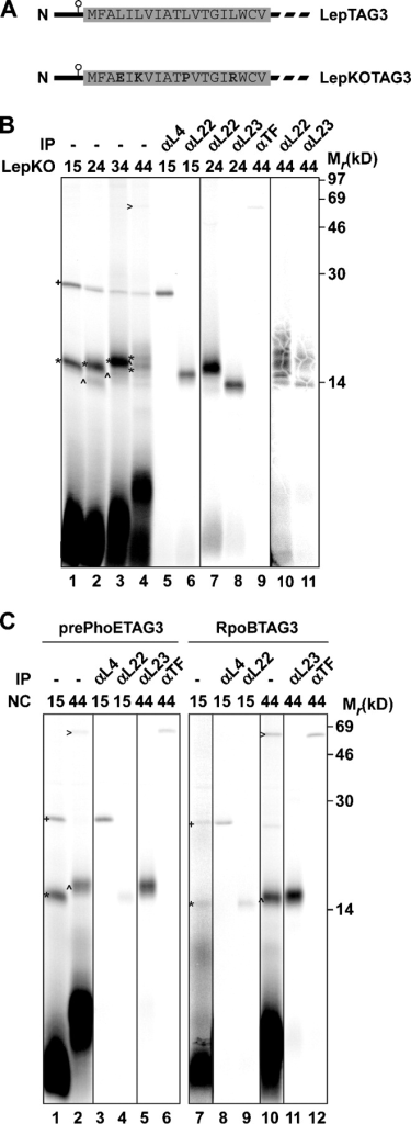 Interactions of nascent LepKO, pre-PhoE, and RpoB with ribosomal proteins and cytosolic chaperones. (A) Schematic representation of LepTAG3 and LepKOTAG3. The sequences of wild-type and mutated H1 are depicted. (B and C) 15–44LepKOTAG3 (B) and 15/44pre-PhoETAG3 and 15/44RpoBTAG3 (C) were produced, cross-linked, purified, and immunoprecipitated as described in Fig. 1. Images in different panels represent different parts of the gel or different exposure times. +, L4 cross-link; *, L22 cross-link; ^, L23 cross-link; >, TF cross-link.