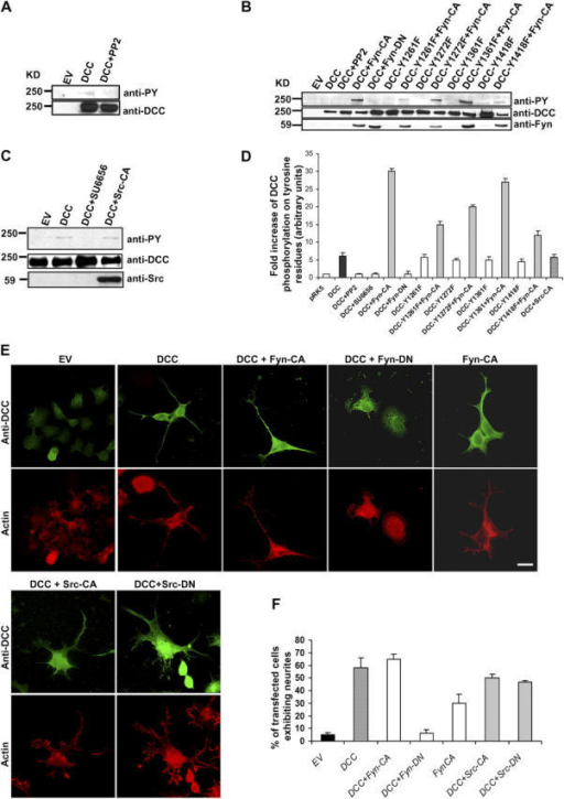 Fyn tyrosine kinase regulates the phosphorylation of DCC and is critical for DCC-induced neurite outgrowth in N1E-115 cells. (A) N1E-115 cells were transfected with empty vector (EV) or pRK5-DCC (DCC). Cells expressing DCC were treated with PP2. DCC was immunoprecipitated from the lysates, and the total amount of DCC was determined using anti-DCC antibodies. Anti-pY antibodies were used to show the level of DCC phosphorylation on tyrosines. (B) The empty vector (EV), DCC, DCC-Y1261F, DCC-Y1272F, DCC-Y1361F, or DCC-Y1418F constructs were transfected either alone or together with Fyn-CA, in N1E-115 cells. Cells expressing DCC were treated with the Src kinase inhibitor PP2. DCC was also cotransfected with Fyn-DN. The expression of these proteins was analyzed by Western blot using anti-DCC and anti-Fyn antibodies, and the phosphorylation levels of these proteins were assessed using anti-pY antibodies. (C) N1E-115 cells were transfected with empty vector (EV) or with DCC, alone or with Src-CA. DCC-transfected cells were also treated with SU6656. After DCC immunoprecipitation, the phosphorylation levels of these proteins were assessed using anti-pY antibodies, and the total amounts of the expressed proteins were determined using anti-DCC and anti-Src antibodies. (D) Quantitative analysis of the tyrosine phosphorylation of DCC and DCC mutant proteins in N1E-115 cells (n = 3). Error bars represent SD. (E) N1E-115 cells were transfected with empty vector (EV), Fyn-CA alone, and DCC either alone or together with Fyn-CA, Fyn-DN, Src-CA, or Src-DN. The cells were costained with anti-DCC antibodies and rhodamine-conjugated phalloidin to visualize the actin filaments. Fyn or Src expression was visualized using anti-p62 antibodies (Santa Cruz Biotechnology, Inc.) (not depicted). Bar, 20 μm. (F) Quantitative analysis of the percent of transfected N1E-115 cells exhibiting neurites shown in E (n = 3) was performed in a blinded fashion. Error bars represent SD.