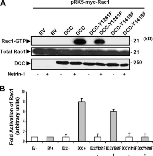 DCC phosphorylation on tyrosine 1418 is critical for Netrin-1–induced Rac1 activation. (A) COS-7 cells coexpressing DCC, Y1261F-, or Y1418F-DCC mutants together with Myc-Rac1 protein were or were not treated with Netrin-1 for 5 min. The GTP-loaded Rac1 were pulled down from the cell lysates using GST-Cdc42/Rac interactive binding domain-Pak1 fusion protein. The proteins from the pull-down and from the total cell lysate were analyzed by Western blot using anti-DCC antibodies and anti-Myc antibodies to detect both Rac1-GTP and the total Rac1. (B) Quantitative analysis of Rac1 activation by DCC and DCC tyrosine mutants after Netrin-1 treatment (n = 5). Error bars represent SD.