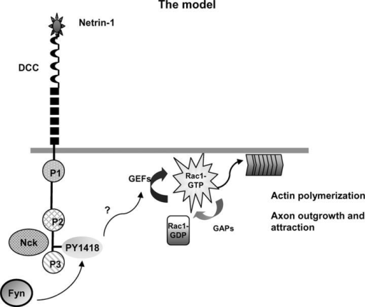 The model. Netrin-1 binding to DCC induces a rapid phosphorylation of Y1418 in the vicinity of the P3 region by Fyn. This primary event might initiate directly or indirectly the activation of a specific unknown guanine nucleotide exchange factor (GEF) that activates Rac1, leading subsequently to actin assembly at the plasma membrane, axon outgrowth, and attraction.