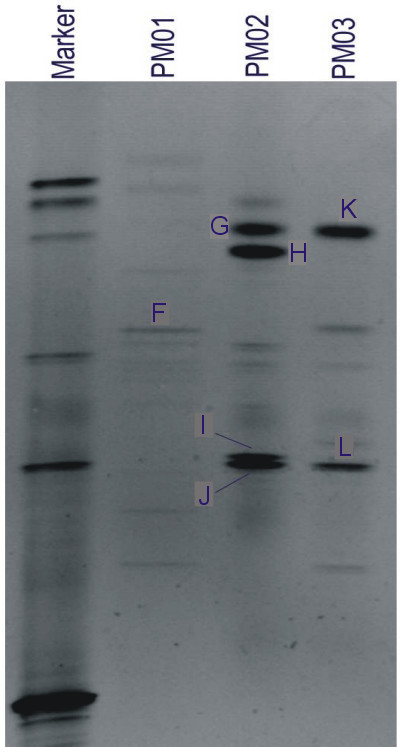 DGGE gel image of 16S rDNA fragments from microbial cultures derived from Penn Mine sediments with seven bands labeled (Table 4). PM01: water from culture experiments; PM02: low-pH cultures; PM03: near-neutral-pH cultures.