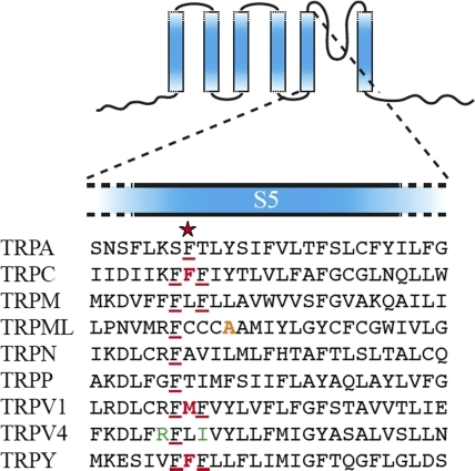 An alignment of the S5's (the predicted fifth transmembrane α helices) of different TRP subtypes. In three independent unbiased searches, the same site (red star) was discovered at which mutations cause constitutive channel activities in TRPC1, TRPV1, and TRPY (bold red letters). The site is in a small cluster of phenylalanines, members of which are found in all TRP subtypes (underlined red). The mutations in TRPV4 that cause brachyolmia in human (green) and the mutation in TRPML that causes the varitint-waddler mouse phenotype are nearby (orange). Shown are subfamily representatives: TRPA (painless of Drosophila), TRPC (the canonical TRPC of Drosophila), TRPM2 (human), TRPML3 (mouse), TRPN (zebra fish), TRPP2 (mouse), TRPV1 (rat), TRPV4 (rat), and TRPY1 (budding yeast). Analyses began with a large-scale alignment of the full-length sequences of all current members of the TRP superfamily, along with several other 6-S cation channels, using the CLUSTAL W algorithm (Gonnet 250 matrix) by way of the CLUSTAL X interface (1.81) (Thompson et al., 1997). Comparisons with pfam00520 (Finn et al., 2006) and applications of various transmembrane and secondary-structure prediction algorithms (e.g., PROFphd; Thompson et al., 1997; Rost et al., 2004; Finn et al., 2006) predict the sequences shown here to be the transmembrane α helices preceding the pore helix.