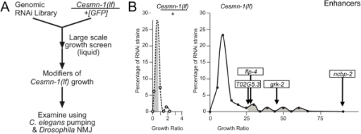 Genome-wide RNAi screen for Cesmn-1(lf) modifier genes.A) To identify genes whose knockdown modifies the growth of Cesmn-1(lf) animals, the progeny of hT2(lethal)[myo-2p::GFP]/Cesmn-1(lf) (+/Cesmn-1(lf), described in text) were reared for more than 2 generations in 96-well, liquid culture format on bacteria expressing dsRNA corresponding to over 16,500 C. elegans genes. Modifier genes identified in this assay were tested subsequently in neuromuscular assays in C. elegans and Drosophila. B) Cesmn-1(lf) and +/Cesmn-1(lf) length was measured for each RNAi clone and a 'growth' ratio of large∶small animals was determined for each genotype. Representative graphs illustrate the distribution of RNAi clone growth ratios. Candidate enhancer genes were those with a growth ratio more than 2 standard deviations above the mean for Cesmn-1(lf) (shaded in right graph) and within 0.7 standard deviations of the mean for +/Cesmn-1(lf) (shaded in left graph) for each 96-well plate. No suppressors were identified using similar criteria. Two independent determinations were made for each clone in the original screen. Candidate genes were retested in at least quadruplicate and enhanced growth in at least 40% of trials before designation as growth modifier genes; average growth ratios of enhancers from the C. elegans screen are indicated.