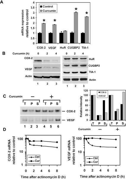 Curcumin inhibits COX-2 and VEGF protein expression in pancreatic cancer cells while inducing CUGBP2 and TIA-1.(A) mRNA expression. MiaPaCa-2 cells were treated with curcumin for 2 h. Curcumin treatment increased the levels of COX-2, VEGF, CUGBP2 and TIA-1 mRNA. There was no significant change of HuR mRNA expression (* p<0.05). Data from three independent experiments. (B) Western blot analyses demonstrate that lysates with curcumin treated MiaPaCa-2 cells have lower levels of COX-2 and VEGF proteins and increasing levels of CUGBP2 and TIA-1. Representative of three independent experiments. (C) (Left panel), Increased binding of CUGBP2 binding to COX-2 or VEGF mRNA following curcumin treatment. Whole cell extract (T) from curcumin-treated cells were immunoprecipitated with anti-CUGBP2 antibody, and RNA from the immunoprecipitates (P) and supernatant (S) were isolated and subjected to RT-PCR for COX-2 and VEGF mRNA. Data demonstrates increased COX-2 or VEGF mRNA in the pellet of curcumin-treated cells. (Right panel) Data was quantified and there was a clear increase in COX-2 and VEGF mRNA in the pellet of curcumin treated cells. (D) MiaPaCa-2 cells were treated with curcumin for 2 h and the stability of COX-2 and VEGF mRNA were determined following addition of actinomycin D (final concentration: 10 µg/ml). Curcumin increases the half-life of COX-2 mRNA from 30 min to 8 h. Similarly, curcumin increased the half-life of VEGF mRNA from 30 min to 8 h. Data demonstrates curcumin treatment significantly increased stability of COX-2 or VEGF mRNA.