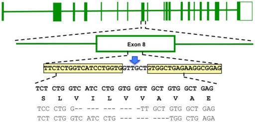 Genotype of the ATP7B KO cell line after ZFN directed mutagenesis.Top line shows the schematic structure of the entire WD gene (exons boxed). Middle lines represent a blow-up of exon 8 and specify the sequence of the proposed ZFN binding sites (boxed) and the FOKI restriction site (arrow). The four bottom lines specify the nucleotide sequences and codons of wild type (upper two lines) and the nucleotide sequence of both chromosomes observed in KO cell (last two lines). Dashes indicate the observed deletions.