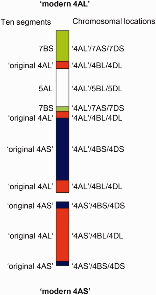Configuration of the modern chromosome 4A which consists of ten segments. The chromosome arms from which the fragments originated are indicated to the left and matching sequences on homoeologous chromosome arms are indicated on the right.