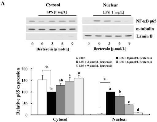 Berteroin inhibits nuclear factor (NF)-κB translocation to the nucleus and its DNA binding activity in lipopolysaccharide (LPS)-stimulated Raw 264.7 cells. The cells were treated with various concentrations of berteroin for 40 min. LPS was added, and the incubation was continued an additional 20 min. (A) Cytosolic and nuclear fractions were prepared 20 min after the incubation with LPS, and the levels of p65 were analyzed by Western blotting. Photographs of chemiluminescent detection of the blots, which were representative of three independent experiments, are shown (upper panel). Relative density (mean ± SEM, n = 3) was calculated using Image J software (lower panel). Levels of α-tubulin and lamin B were used as cytosolic and nuclear loading controls, respectively; (B) The effect of berteroin on the DNA binding activity of p65 was evaluated by electrophoretic mobility shift assay. The nuclear extracts were incubated with the [γ-32P]-labeled NF-κB consensus oligonucleotides for 30 min. Each sample was subjected to 5% nondenaturing gel electrophoresis. (Left) An autoradiograph of the dried gel, which was representative of three independent experiments, is shown. (Right) The relative abundance of each band was quantified, and the LPS control levels (1 mg/L LPS + 0 μmol/L berteroin) were set to 100%. Each bar represents the mean ± SEM (n = 3). * Significantly different from the control group (p < 0.05). Means with different letter (a, b, c or d) are significantly different among the berteroin groups (p < 0.05).