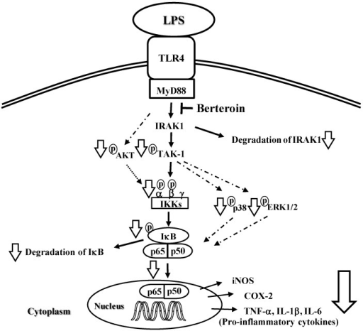 Proposed mechanisms underlying the anti-inflammatory effects of berteroin. Berteroin inhibits IL-1 receptor-associated kinase (IRAK1) degradation, which results in decreased phosphorylation of transforming growth factor β activated kinase-1 (TAK1) leading to the reduction of IκB kinase (IKK), p38 mitogen activated protein kinase (MAPK), and extracellular regulated kinase (ERK)1/2 phosphorylation and subsequent reduction of IκB phosphorylation and degradation. Decreased AKT phosphorylation also contributes to the reduction of IKK activation. The resulting high levels of IκB prevents p65 translocation from the cytosol to the nucleus thereby preventing transcription of inducible metric oxide synthase (iNOS), cyclooxygenase (COX)-2, tumor necrosis factor (TNF)-α, interleukin (IL)-1β, and IL-6 leading to a decreased inflammatory response.